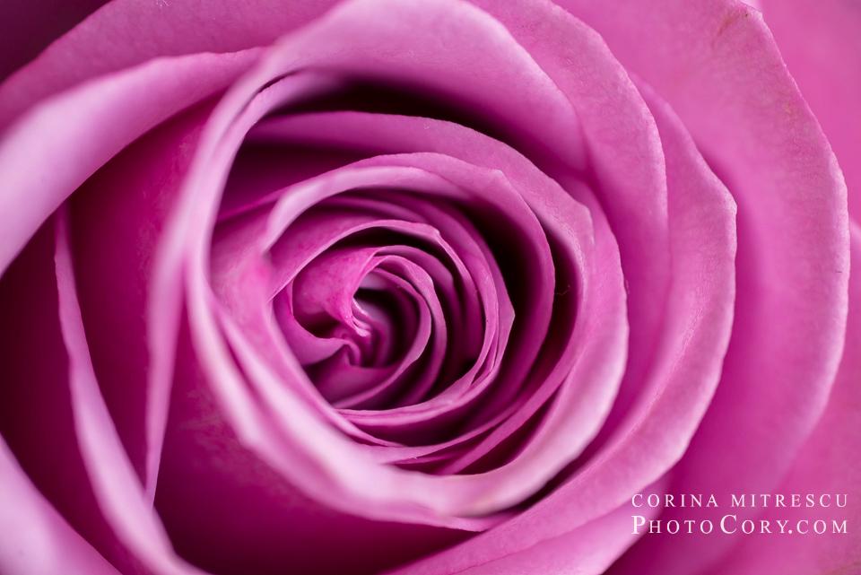 trandafir-roz-macro-tokina-100-mm-nikon-micro