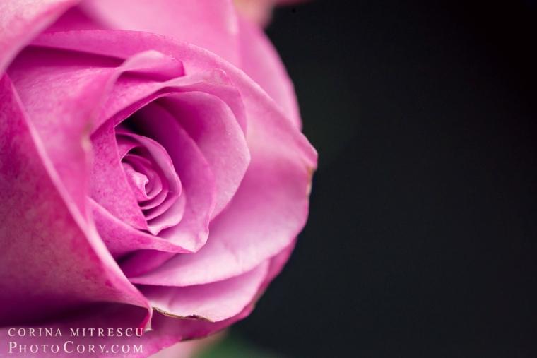 trandafir-roz-macro